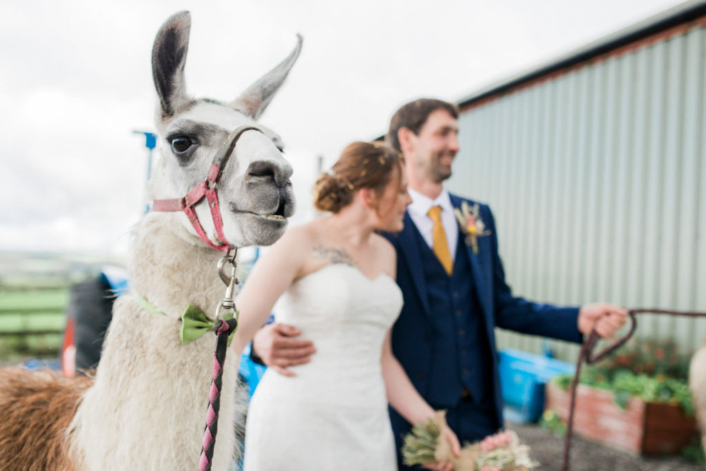llama at wedding